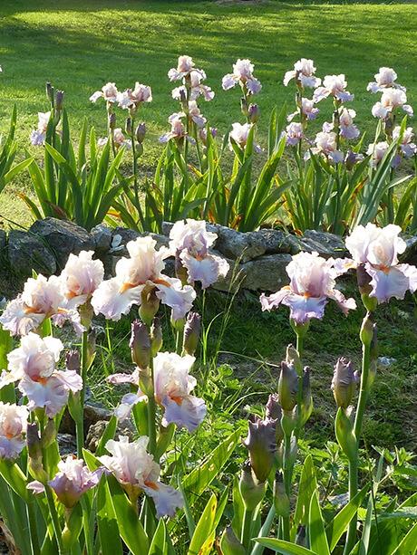 Les iris de Moreaucourt