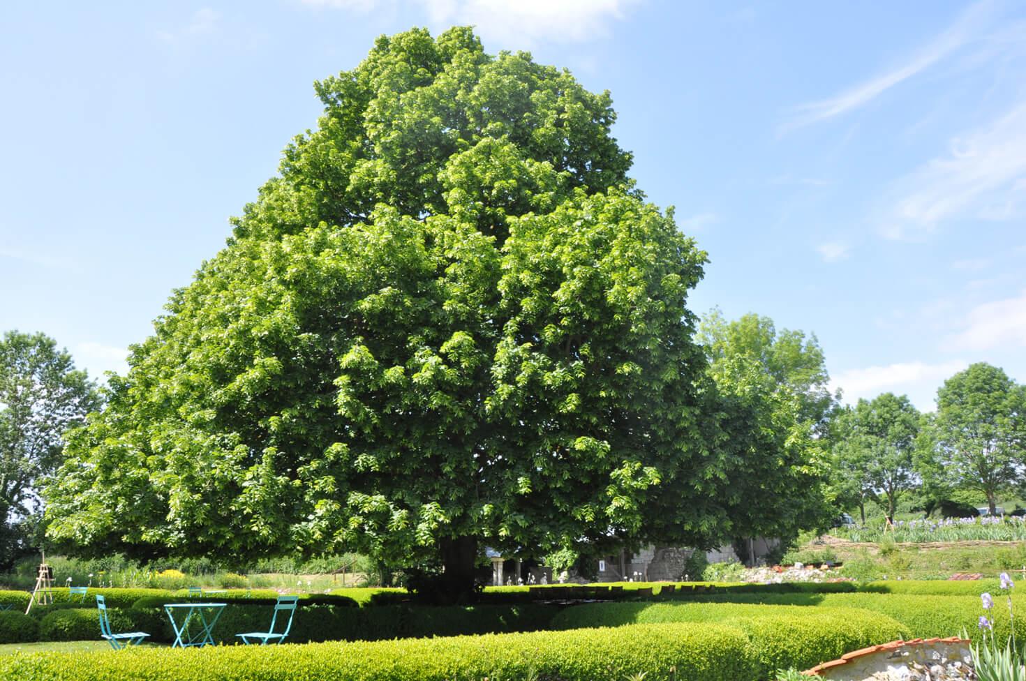Chêne centenaire emblématique de Moreaucourt